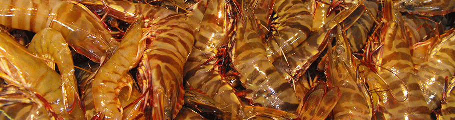 Prawns: Tiger Prawns . MBSIA. Moreton Bay Seafood Industry Association.